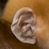 Close-up on the ear of a baby Francois Langur Royalty Free Stock Images