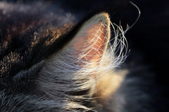 Close up of an ear of a cat Royalty Free Stock Images