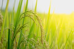 Close up ear of rice fields. Stock Photo