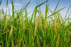 Close up ear of rice in rice fields. Stock Photos