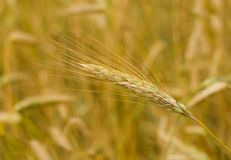 Close-up ear of rye Stock Photography