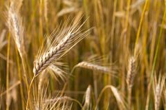 Close-up ear of wheat Stock Image