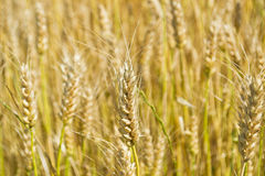 Close-up of ear of wheat Royalty Free Stock Photos