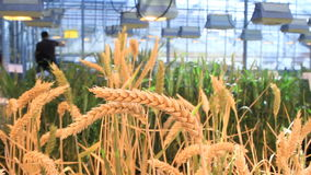Close-up of an ear of wheat stock footage