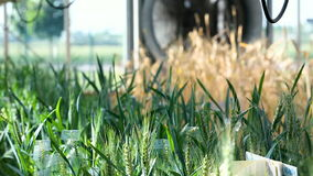 Close-up of an ear of wheat stock video