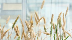 Close-up of an ear of wheat stock video footage