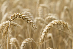 Close up ear of wheat Royalty Free Stock Image