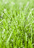 Close up of early dew on healthy grass Royalty Free Stock Images