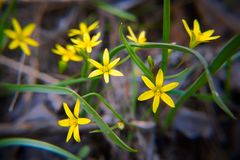 Close-up of early spring eatable wild plants with small yellow flowers gagea. Gagea - early spring eatable wild plant with small yellow flowers in natural stock image