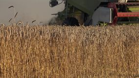 Ears of golden wheat and combine harvester work in field. 4K. Close up of ears of golden wheat and combine harvester work in field at summertime. 4K UHD video stock video footage
