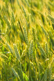 Close-up Ears Of Rye Stock Images