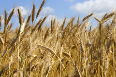 Close-up ears of wheat. Against the backdrop of the sky Royalty Free Stock Images