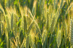 Close-up ears of wheat Royalty Free Stock Image
