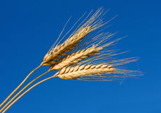 Close-up ears of wheat Royalty Free Stock Photo