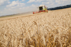 Close-up ears of wheat at field and harvesting machine Royalty Free Stock Photo