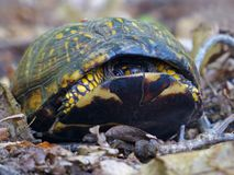 Eastern Box Turtle Peeking Out. Close up of an Eastern Box Turtle peeking out of its shell royalty free stock photography