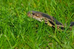 Eastern Fox Snake Stock Photos