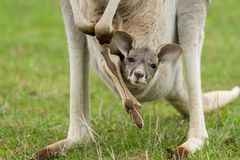 Kangaroo Joey in the Pouch. Close up of an eastern grey kangaroo and her joey, Victoria, Australia. The joey and its cute head can be seen out of the pouch Royalty Free Stock Photo