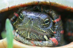 Close up of Eastern painted turtle Stock Photo