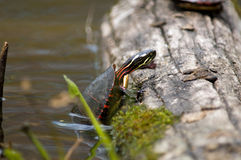 Close up of Eastern painted turtle Stock Image