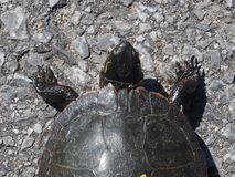 Eastern Painted Turtle crossing the road royalty free stock image