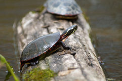 Close up of Eastern painted turtle on log Stock Image