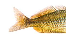 Close-up of an Eastern Rainbowfish's caudal fin. Melanotaenia splendida splendida, isolated on white stock photo