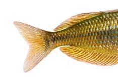 Close-up of an Eastern Rainbowfish's caudal fin. Melanotaenia splendida splendida, isolated on white royalty free stock image