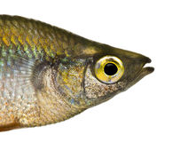 Close-up of an Eastern Rainbowfish's profile Royalty Free Stock Images