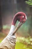 Close up of Eastern Sarus Crane Grus Antigone Sharpii . Stock Photography