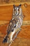 Screech-owl Stock Images
