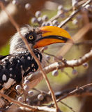 Close-up of the Eastern Yellow-billed Hornbill Royalty Free Stock Image