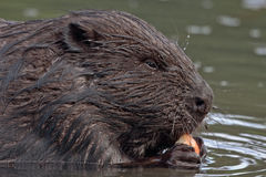 Close-up of eating beaver Royalty Free Stock Photography