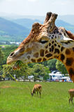 Close up of eating giraffe. Close up of giraffe eating grass Stock Images