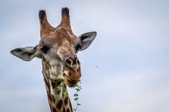 Close up of an eating Giraffe. Stock Photo