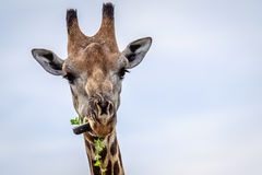 Close up of an eating Giraffe. Royalty Free Stock Images