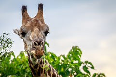 Close up of an eating Giraffe. Stock Images