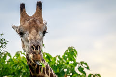 Close up of an eating Giraffe. Stock Image
