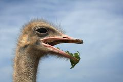 Close-up on a eating ostrich's head Royalty Free Stock Images