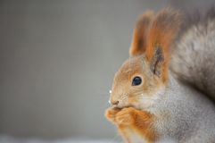 Close up of the eating squirrel stock images