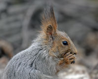 Close-up of eating squirrel Stock Images