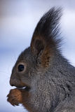 Close-up of eating squirrel Royalty Free Stock Photos