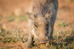 Close up of an eating Warthog. Close up of an eating Warthog in the Pilanesberg National Park, South Africa Stock Images