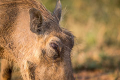 Close up of an eating Warthog. Royalty Free Stock Photography