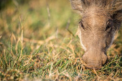 Close up of an eating Warthog. Close up of an eating Warthog in the Pilanesberg National Park, South Africa Stock Photo