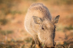 Close up of an eating Warthog. Stock Image