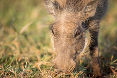 Close up of an eating Warthog. Royalty Free Stock Image