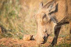 Close up of an eating Warthog. Close up of an eating Warthog in the Pilanesberg National Park, South Africa Stock Photos