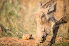 Close up of an eating Warthog. Stock Photos