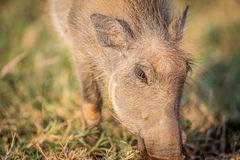 Close up of an eating Warthog. Close up of an eating Warthog in the Pilanesberg National Park, South Africa Royalty Free Stock Images